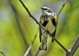 Yellow-rumped Warbler - Durand Eastman Park - © Candace Giles - May 20, 2017