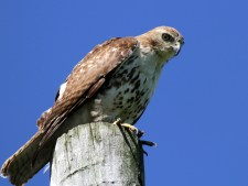 Red-tailed Hawk - High Acres Nature Area - © Shawn Cappiello - May 20, 2017