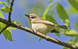 Warbling Vireo - High Acres Nature Area - © Shawn Cappiello - May 20, 2017