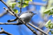 Blue-gray Gnatcatcher - Manitou Beach Preserve (RBA field trip) - © Candace Giles - May 20, 2017