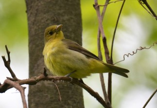 Scarlet Tanager (F) - Cobbs Hill - © Dick Horsey - May 21, 2017