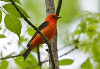 Scarlet Tanager - Cobbs Hill - © Dick Horsey - May 22, 2017