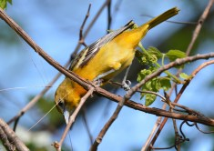 Baltimore Oriole (F) - Lakeview Church Trail - © Dick Horsey - May 24, 2017