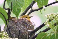 Yellow Warbler - Irondequoit - © Eunice Thein - May 26, 2017
