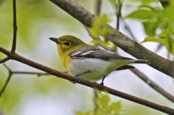 Yellow-throated Vireo - Kendall (RBA field trip) - © Dick Horsey - May 27, 2017