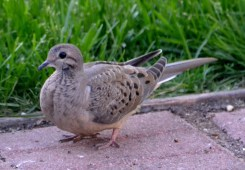 Mourning Dove (Juv) - Webster - © Peggy Mabb - May 29, 2017