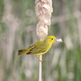 Yellow Warbler gathering nesting material - Montezuma National Wildlife Refuge © D. Sherony