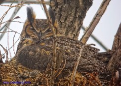 Great Horned Owl on nest - Fog Kirkwood Rd. Greece, NY 11-04-07 - Digiscoped Photo © Jay Greenberg