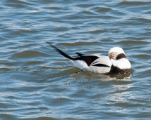 Long-tailed Duck by Chuck Schleigh