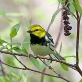 Black-throated Green Warbler © Dominic Sherony