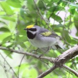 Golden-winged Warbler © Dominic Sherony