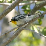 Yellow-throated Warbler © Dominic Sherony