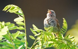 Song Sparrow - Irondequoit Bay Outlet - © Dick Horsey - Aug 04, 2015