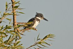 Belted Kingfisher - Durand Eastman Park - © Dick Horsey - Aug 23, 2015