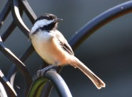 Black-capped Chickadee - Webster - © Peggy Mabb - Aug 30, 2015