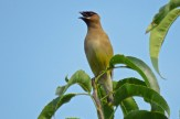Cedar Waxwing - Oatka Creek Park - © Jim Adams - Sep 02, 2015