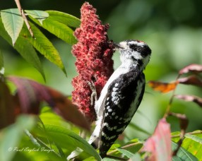 Downy Woodpecker - Canadice Lake - © Paul English - Sep 16, 2015