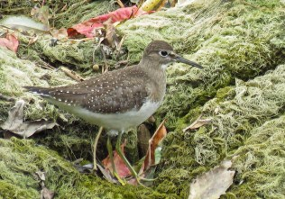 Solitary Sandpiper - Oatka Creek Park - © Jim Adams - Oct 03, 2015