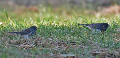 Dark-eyed Junco - Whiting Road Preserve - © Dick Horsey - Oct 10, 2015