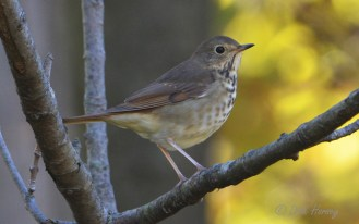 Hermit Thrush - Whiting Road Preserve - © Dick Horsey - Oct 10, 2015
