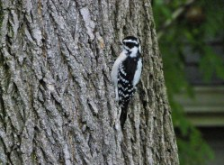 Downy Woodpecker - Greece - © Carol Shay - Oct 16, 2015