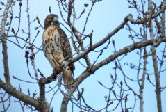 Red-tailed Hawk - High Acres Nature Area - © Dick Horsey - Oct 23, 2015