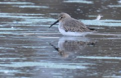 Dunlin - High Acres Nature Area - © Dick Horsey - Oct 23, 2015