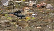 Rusty Blackbird - High Acres Nature Area - © Dick Horsey - Oct 23, 2015