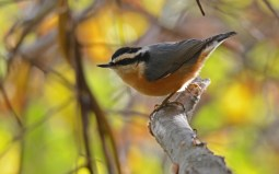 Red-breasted Nuthatch - Durand Eastman Park - © Dick Horsey - Oct 27, 2015