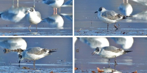 Franklin's Gull (1st winter) - LaSalle's Landing Pk - © Dick Horsey - Nov 16, 2015