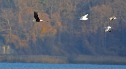 Bald Eagle - LaSalle's Landing Pk - © Dick Horsey - Nov 26, 2015