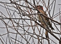 Northern Flicker - Braddock Bay, South Marina - © Dick Horsey - Nov 27, 2015