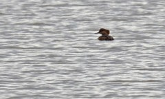 Hooded Merganser - Braddock Bay Pk - © Dick Horsey - Nov 27, 2015