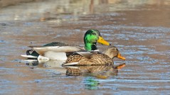 Mallard - Webster Park - © Dick Horsey - Nov 30, 2015