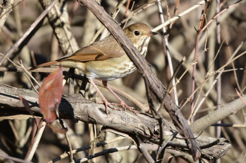 Hermit Thrush - Webster Park - © Dick Horsey - Nov 30, 2015