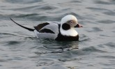Long-tailed Duck - Irondequoit Bay Outlet - © Dick Horsey - Dec 08, 2015