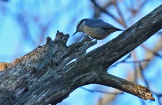 Red-breasted Nuthatch - Highland Park (Christmas Bird Count) - © Dick Horsey - Dec 20, 2015