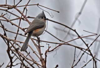 Tufted Titmouse - Whiting Road Preserve - © Dick Horsey - Dec 23, 2015