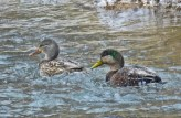 Mallard (L) and Mallard x American Black Duck (R) - Oatka Creek Park - © Jim Adams - Jan 04, 2016