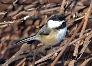 Black-capped Chickadee - Webster - © Peggy Mabb - Jan 13, 2016