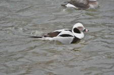 Long-tailed Duck - Irondequoit Bay Outlet - © Nick Kachala - Jan 23, 2016