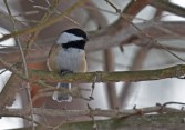 Black-capped Chickadee - Durand Eastman Park - © Dick Horsey - Jan 24, 2016