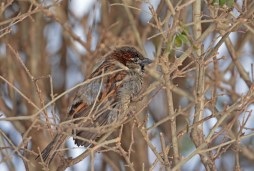 House Sparrow - Brighton - © Dick Horsey - Jan 24, 2016