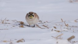 Horned Lark - Hamlin - © Dana Kalir - Jan 24, 2016