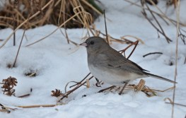 Dark-eyed Junco - Mendon Ponds - © Dick Horsey - Jan 25, 2016