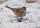 American Tree Sparrow - Mendon Ponds - © Dick Horsey - Jan 25, 2016