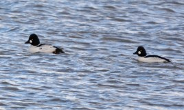 Common Goldeneye - Irondequoit Bay Outlet - © Dick Horsey - Jan 27, 2016