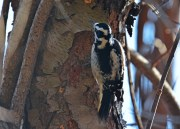 Hairy Woodpecker - Mendon Ponds - © Dick Horsey - Feb 07, 2016