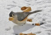 Tufted Titmouse - Webster - © Peggy Mabb - Feb 18, 2016