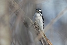 Downy Woodpecker - High Acres Nature Area - © Dick Horsey - Feb 28, 2016